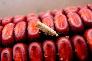 Зерновая моль.