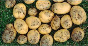 Картофельная моль.