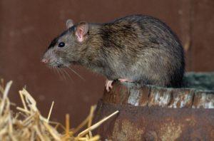 Крысы, живущие в сараях.
