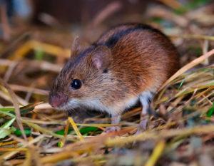 Мышь полевка.