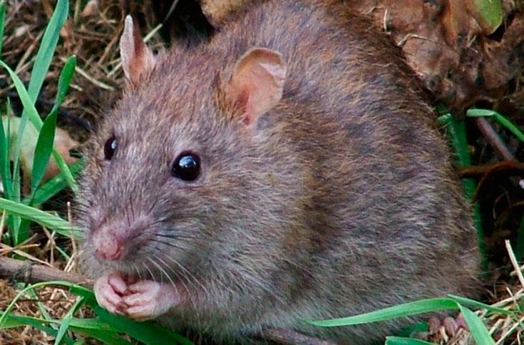 Где живут крысы.