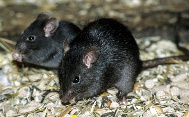 Черная крыса.