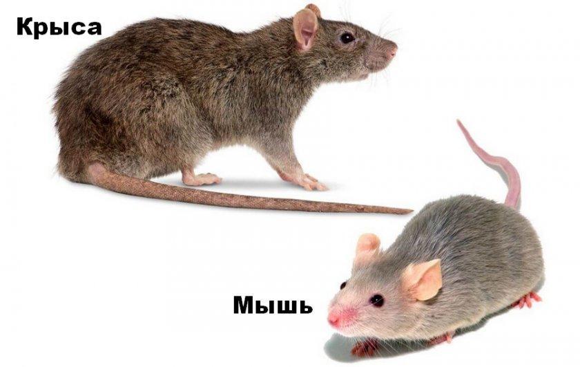 Крысы и мыши: отличия.