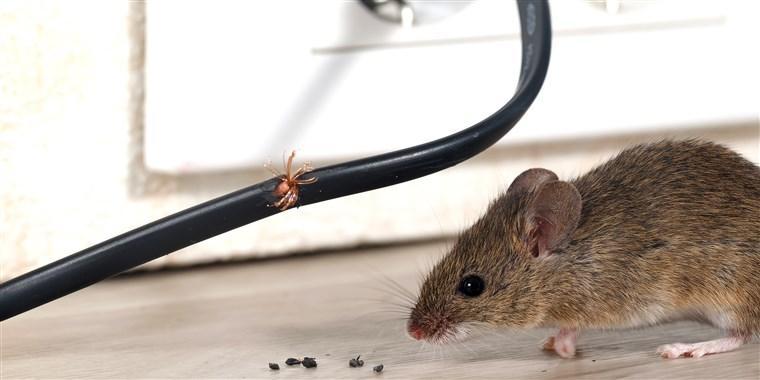 Мышиный помет
