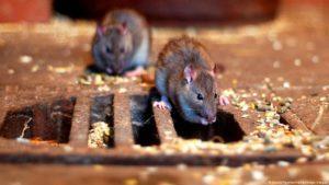 Крыса в унитазе.