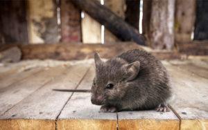 Как защитить дом от мышей.