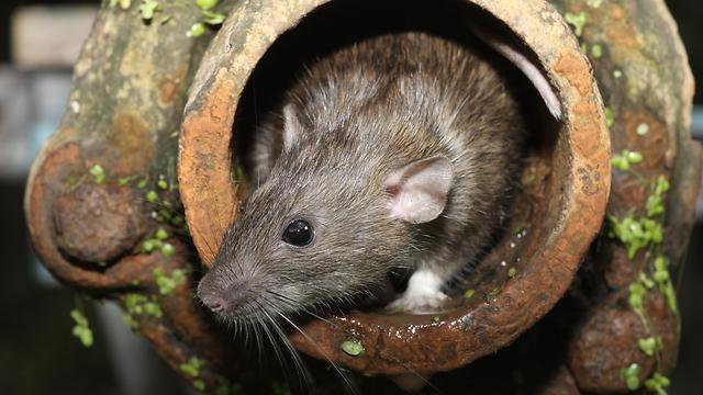 Как убрать крысу из унитаза.