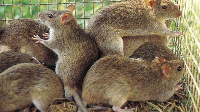 Факты о крысах.