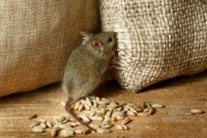 Чем кормить мышь.