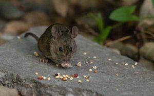 Что едят мыши.