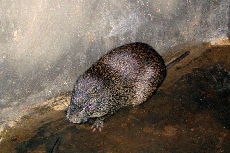 Большая тростниковая крыса.