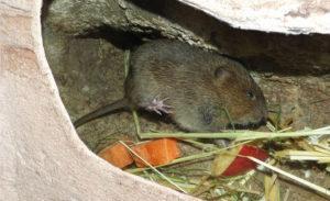 Земляная крыса в огороде.