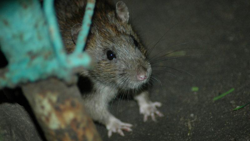 Как травить крыс.