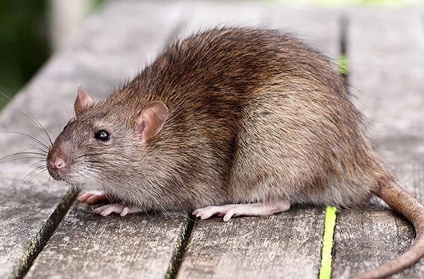 Дикая крыса: фото.