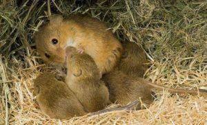 Сколько лет живут мыши.