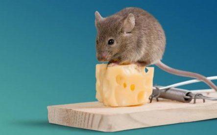 Мыши и сыр: вечный вопрос.