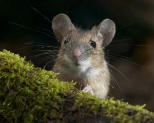 Чем кормить мышей.