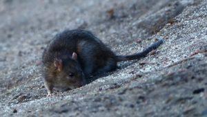 Серая и черная крыса.