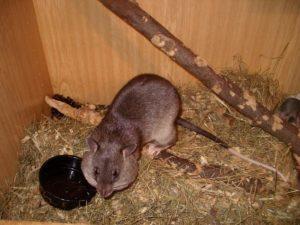 У крысы большие щеки.