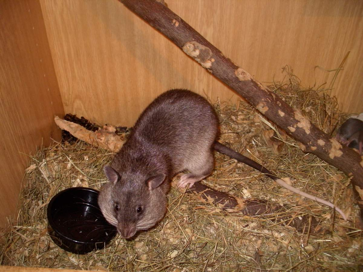 Гамбийская хомяковая крыса.
