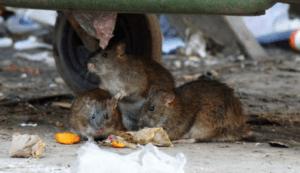 Серая крыса обыкновенная.