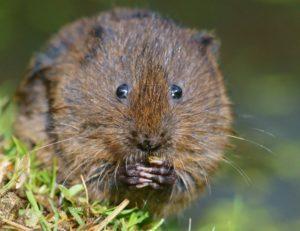 Как выглядит водяная крыса.