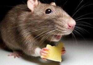 Домашняя мышь и сыр.