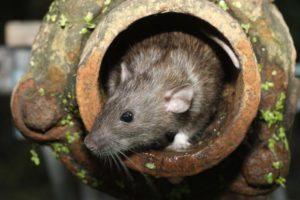 Все о крысах.