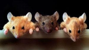 Как рождаются мыши.
