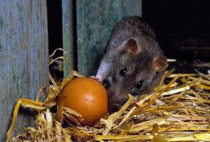 Яйца: крысы их легко воруют.