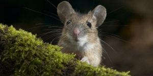 Что отпугивает мышей.