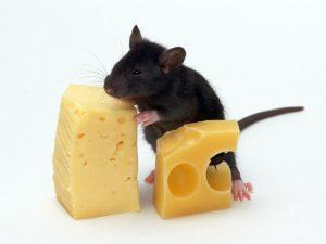 Сыр для мышей - лакомство или еда.