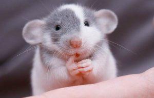 Декоративная мышь.