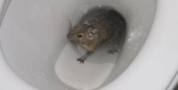 Канализационные крысы.