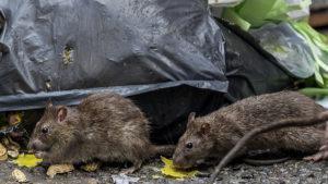 Какой вред несут крысы.