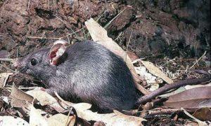 Черные крысы.