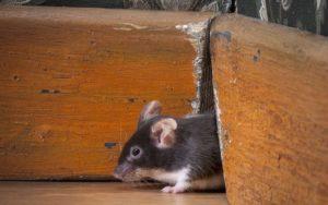 Как избавиться от запаха мышей в доме.