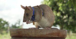Крыса Магава: заслуженный герой.