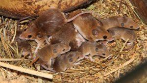Полевая мышь с потомством.