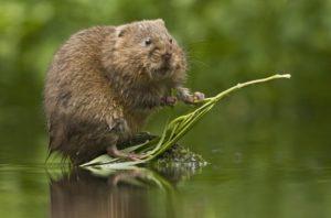 Водяная крыса.