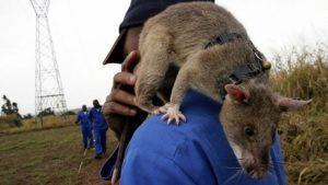 Гамбийские крысы крупнее всех своих сородичей.