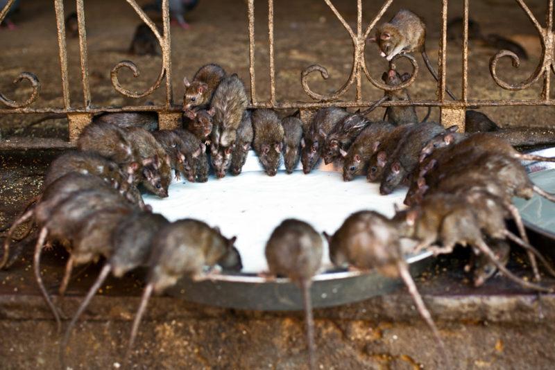 Какой вред человеку от крысы.