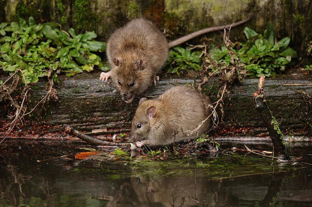 Крыса пасюк: фото.