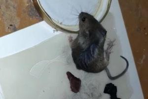 Мыши в каркасном доме: как этого избежать.