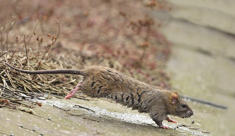 Крыса Пасюк