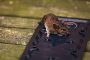 Мышь в клеевой ловушке.