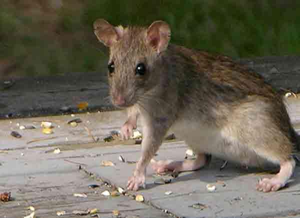 Большая туркестанская крыса.