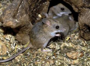 Маленькие мышата полевки.