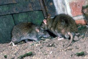 Крыса подвальная.