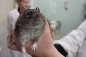 Что не любят крысы.